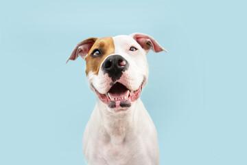 Happy American Staffordshire dog smiling. Isolated on blue background - fototapety na wymiar