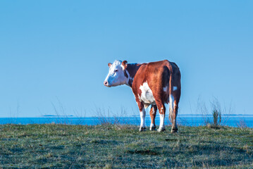 Wall Murals Cow cow on a meadow and blue sky over the water