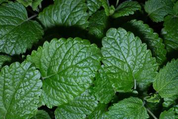 Fototapeta Close-up shot of green mint leaves in the garden obraz