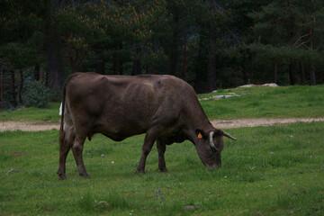krowa zwierze natura drzewa trawa łąka - fototapety na wymiar