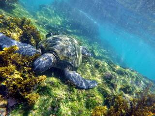 Galapagos green sea turtle eating seaweed at Punta Espinoza, Galapagos Islands, Fernandina, Ecuador