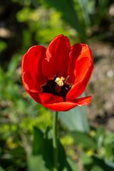 Piękny kwiat w ogrodzie, Polska, Toruń, Chełmża