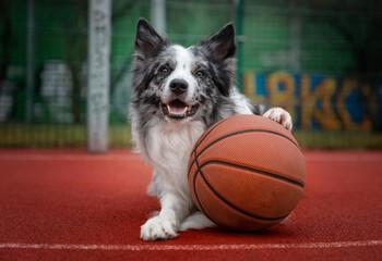 Portret psa rasy border collie z piłką do koszykówki - fototapety na wymiar