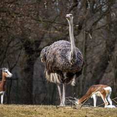 The common ostrich, Struthio camelus, or simply ostrich