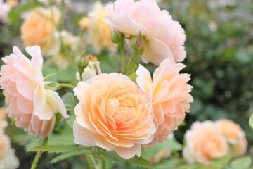 orange color rose in full blooming