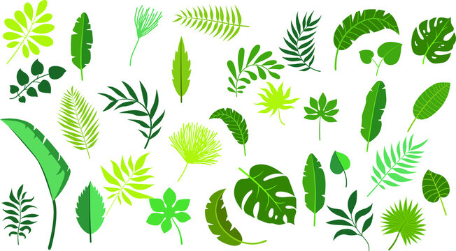 Vector set tropical leaves palm summer exotic jungle green leaf illustration. Tropical plant botanical Hawaii nature decoration floral green leaves. Flower tropic beach monstera tree.