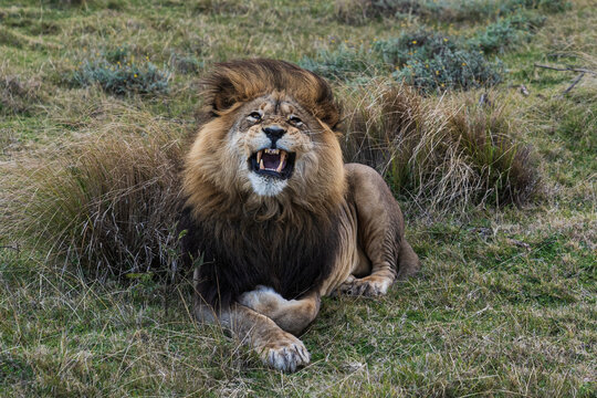Beautiful shot of a roaring lion on a meadow