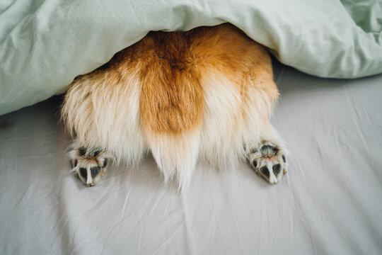 Rear of Corgi dog sticking out of duvet