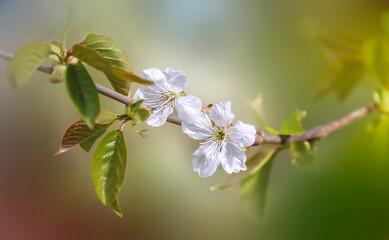 Fototapeta gałązka z białymi kwiatkami obraz