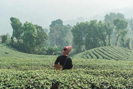 A Man In Middle Of Tea Platation Or Tea Field