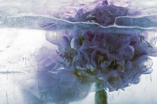 Blüte einer Grasnelke in Eis