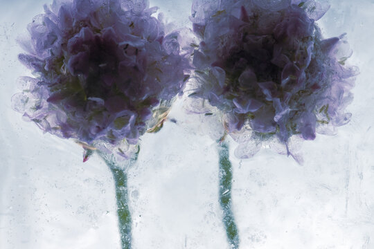 Grasnelken in kristallklarem Eis