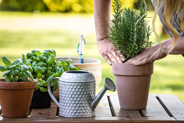 Fototapeta Woman planting rosemary herb into flower pot on table. Gardening and planting in garden at spring obraz