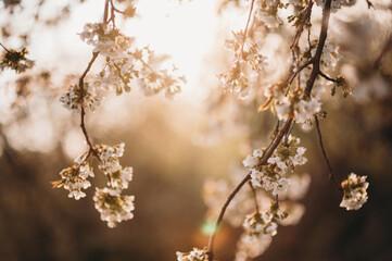 Obraz kwiat wiśni, gałąź,  - fototapety do salonu
