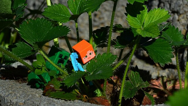 LEGO Minecraft figure of Alex with diamond pickaxe chased by green Creeper mob between real Strawberry plants in garden