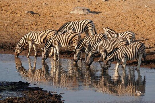 Burchell's Zebra in Etosha National Park, Namibia