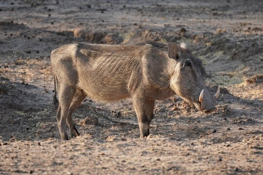 Warthog in Waterberg Wilderness Private Reserve, Namibia