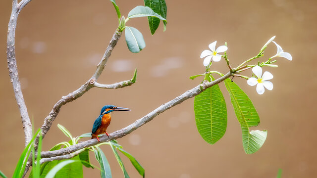 Blue kingfisher Orange breast standing on a branch with white flowers looking for fish in the river. But the water in the river was turbid due to rain.