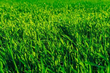 młode zielone zboże jako tło - fototapety na wymiar
