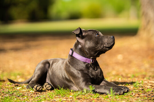 blue stafforshire bull terrier puppy