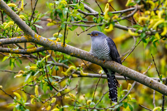 A cuckoo in a tree