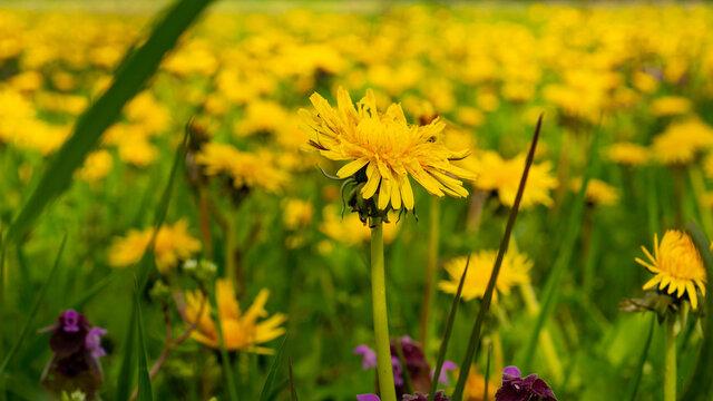 Butterblumen und Gras