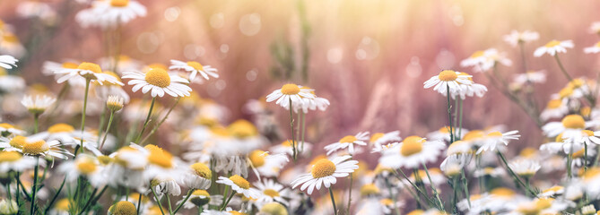 Beautiful nature, flowering chamomile (wild chamomile) in meadow