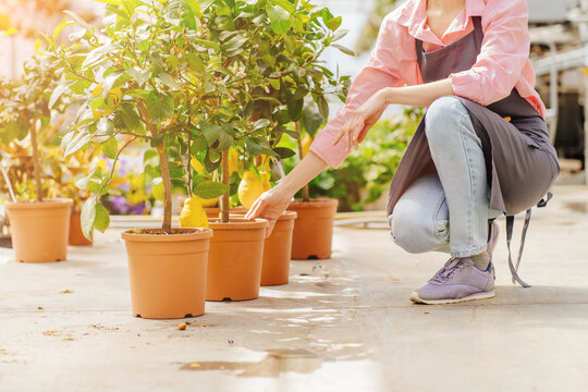 Unrecognizable professional female employee of orangery taking care and sitting next to a lemon trees in the greenhouse. lemon tree growing in a pot in a greenhouse.