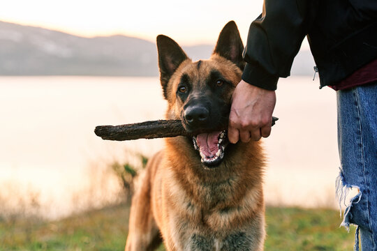 Crop man playing with German Shepherd dog with stick in mouth on shore of lake at sunset
