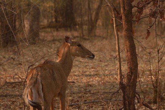 Subadult nilgai or blue bull standing and alerted at Bandhavgarh National Park
