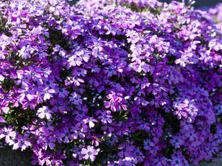 Fototapeta Wiosenne kolorowe kwiaty w ogrodzie i na łące obraz