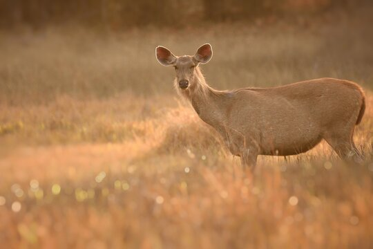 Female sambar deer alerted and standing at grasland during golden hours