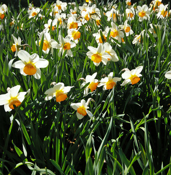 """White narcissus """"łac. narcissus belisana"""" blooming in the rays of the sun"""