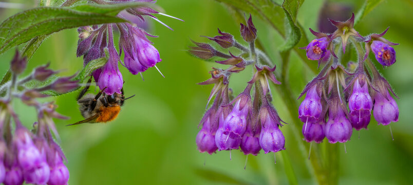common comfrey (symphytum officinale) blooming