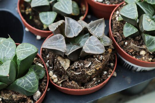 Closeup of ice haworthia succlulant plants in pots