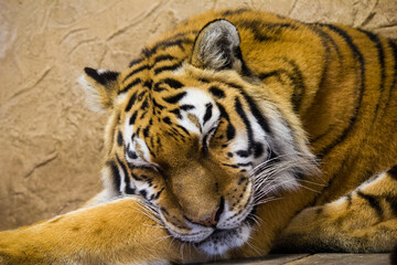 Śpiący Tygrys Syberyjski