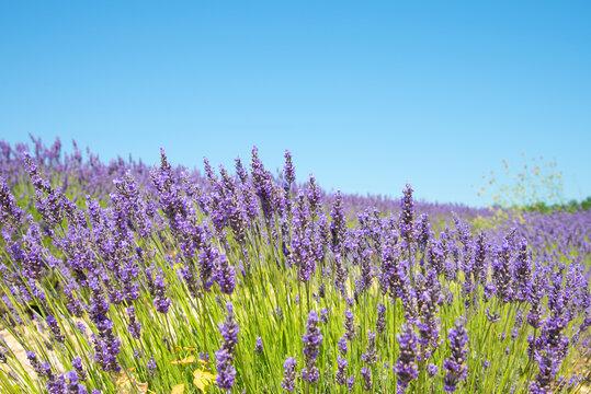 Lavender fields at Plateau de Valensole, Provence, southern France