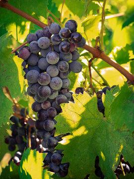Dolci e succosi grappoli di uva nella vigna