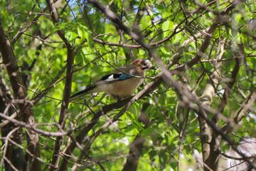 Fototapeta dziki ptak wśród drzew obraz