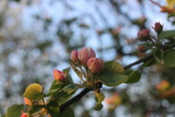 Obraz Pąki jabłoni 1- macro - fototapety do salonu