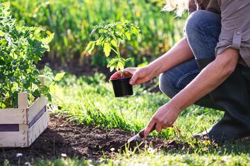 Fototapeta Woman farmer planting tomato seedling in organic garden. Gardening in spring. Vegetable plants obraz