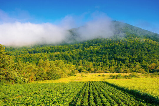 morning rural landscape in mountains. rows of lush green potatoes grow in the field. rustic agricultural scenery in morning light. organic crop vegetation. ukraine carpathian countryside in summer