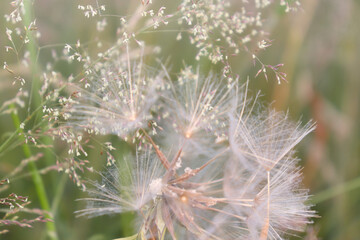 Soft white dandelion clocks in a field of white flowers and green grass.