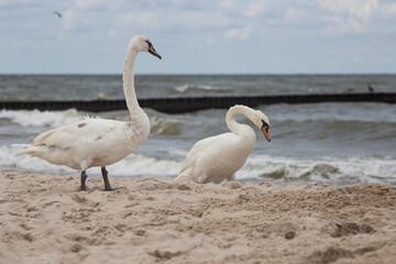 Ptaki Łabedzie Morze Bałtyckie