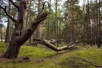 Fototapeta Drzewo połamane Konar Las Słowiński Park Narodowy obraz