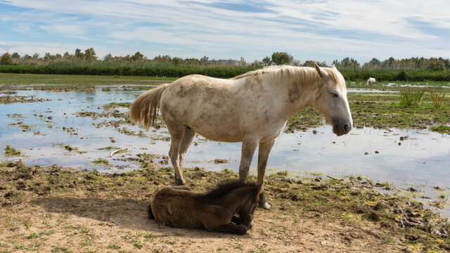 Female horse with her foal resting in a field