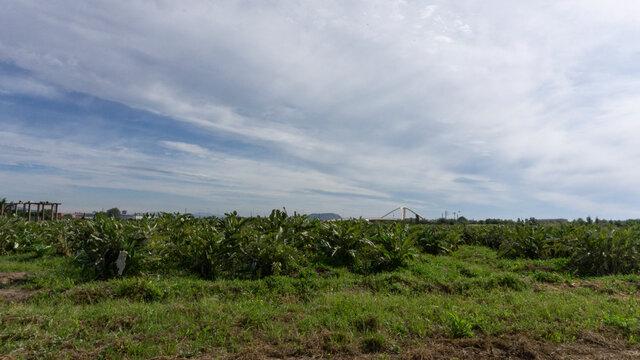 Artichoke plantation on a farm on the outskirts of barcelona.