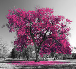 Canvas Prints Gray Big colorful tree with pink leaves in a black and white landscape scene in the park