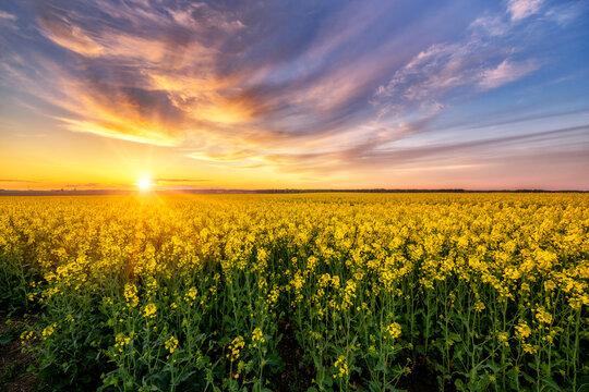 Beautiful sunset over rape fields