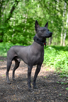 beautiful male Xoloitzcuintle (Mexican Hairless Dog) in black collars portrait standing against green forest background